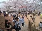 花見山1.jpg