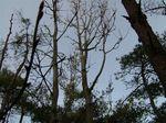 コシアブラ大木